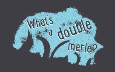 Double Blue Merle